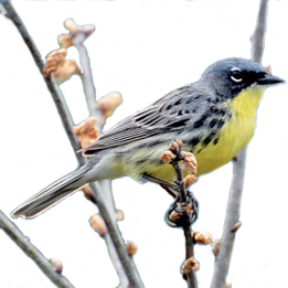 Kirtland Warbler Image - Photo Credit - U.S. Fish and Wildlife Service