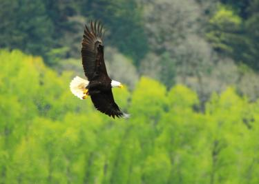 Bald Eagle special forests